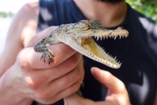 crocodile hunting, Bentota, Lagoon, Boat Trip