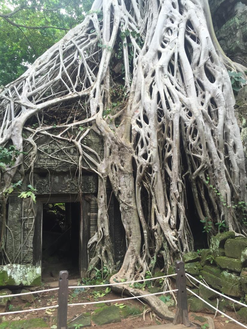 Angkor Wat trees Siem Reap Tomb Raider