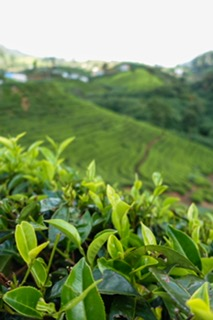 Tea Plantation, Tea Leaves, Nuwara Eliya, Sri Lana,