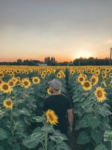 France, Beautiful, Summer, Sunflower, Field, Salt and Coconuts, Sunset